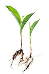May lily, Convallaria majalis