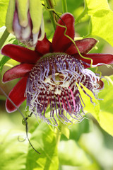 Passiflora vine's bloom