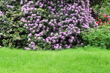 Frühling im Park. Blühende Rhododendrone