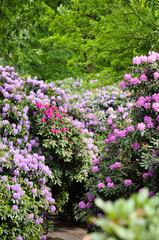 Frühlingsboten im Park. Blühende Rhododendronen