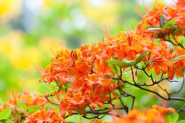 Orange blühender Rhododendron