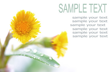 Field yellow flower with space for text