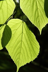 Tilia (Linden) leaves against the sun