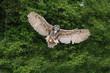 Stunning European eagle owl in flight