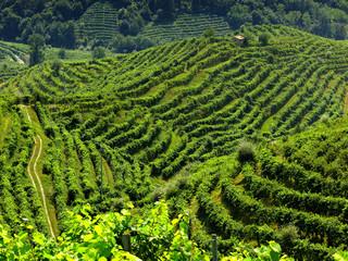 collina con vigne di prosecco