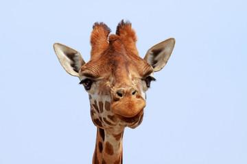 Giraffe looking into camera