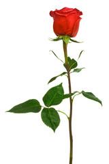 scarlet rose