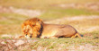 Lion (panthera leo) in savanna