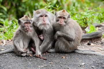 balinese monkey family