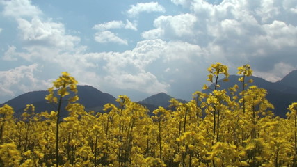 canola field in rainbow