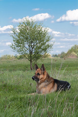 German Shepherd dog resting on the lawn