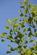 Ginkgo (Ginkgo biloba) - Zweige vor blaumen Himmel