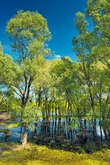 Trees in the swamp near Narew river, Poland