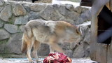 Coyote Eating Meat