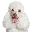 White poodle puppy smiles
