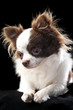 beautiful chihuahua dog portrait close-up
