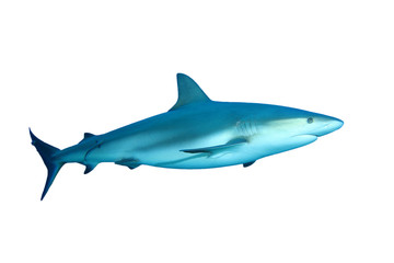 Caribbean Reef Shark (Carcharhinus perezii) on white background