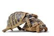 reproduction de tortues Hermann