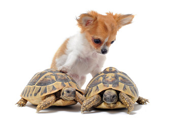 chiot chihuahua et tortues