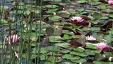 Nénuphars 'Rose Arey' (Nymphaea sp)