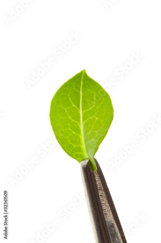 leaf in tweezers, isolated on white