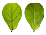 leaf with veins and normal leaf isolated on white poster