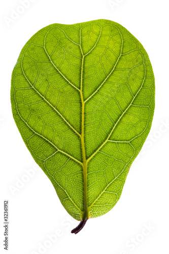 textured green leaf isolated on white