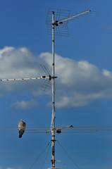 Tortora appollaiata su antenna tv