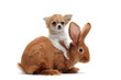 chiot chihuahua et lapin