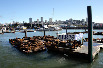 Sea lions at Pier 39, San Francisco, USA..