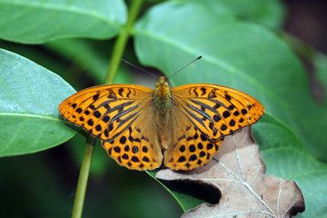 Silver washed Fritillary male