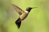 Ruby Throated Hummingbird in flight.