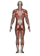 男性人体模型