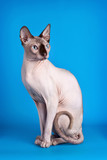 Sphynx on blue background