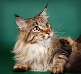 Maine coon on green background