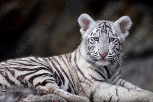 Biały tygrys portret