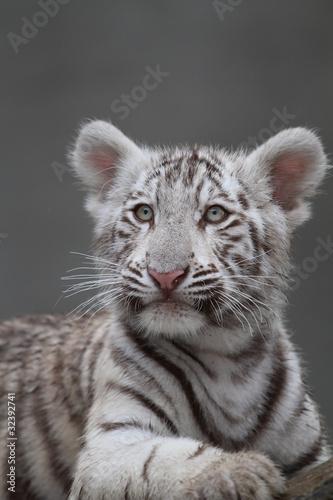 bialy-tygrys-portret