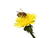 Honey bee on an yellow Dandelion flower. Isolated