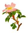 Pousse et fleur d'églantier