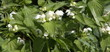 White dead nettle ( Lamium Album)