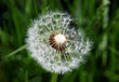Close-up of dandelion seed on green background
