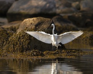 Great egret lifting off
