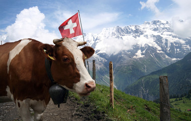 Swiss Cow with the Alps behind