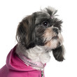 Close-up of Shih Tzu in pink, 2 years old