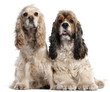 Two American Cocker Spaniels, 1 and 2 years old