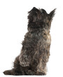 Cairn Terrier, 8 months old, sitting and looking up