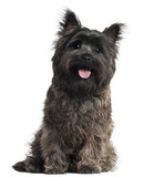 Cairn Terrier, 8 months old