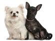 Chihuahuas, 8  years old and 7 months old, sitting