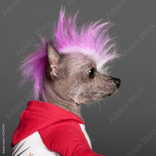 Close-up of Chinese Crested Dog with pink mohawk, 4 years old
