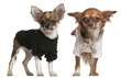 Chihuahua puppies, dressed up, 3 months old and 10 months old